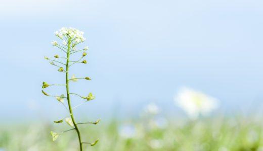 【ナズナ 】薺、ぺんぺん草の花言葉と、慣用句の意味!意外に栄養満点?!