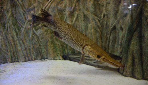 【アリゲーターガー】危険な魚?特徴と生態を紹介!飼育、販売はNG