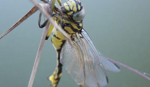 【オニヤンマ】天敵スズメバチを捕食する最強のトンボ!絶滅の可能性は?