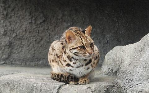 【イリオモテヤマネコ】水に潜るネコ⁈面白い生態と絶滅危惧種の原因