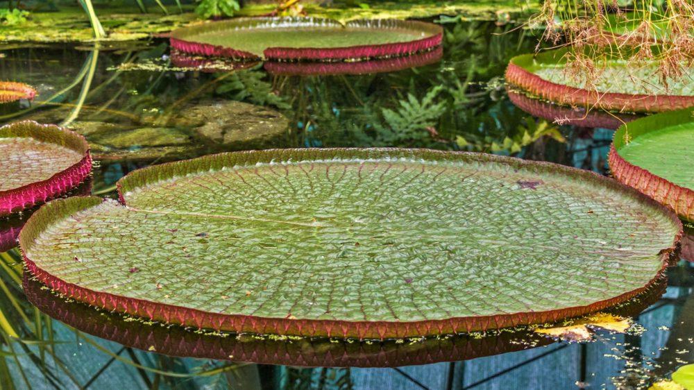 大きなオオオニバスの葉