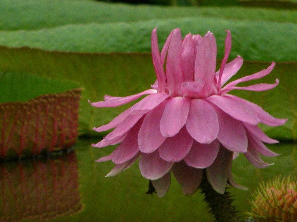 オオオニバスのピンクの花