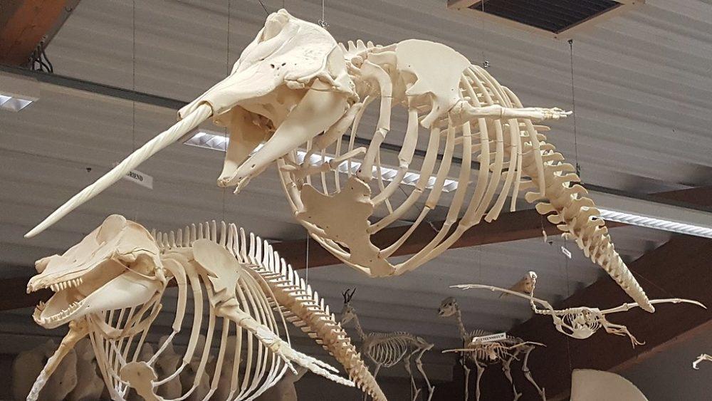 イッカクの骨
