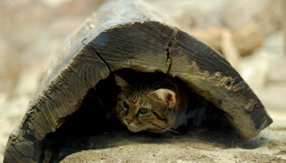 クロアシネコが穴に隠れている様子