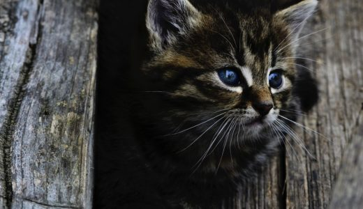 【クロアシネコ】世界最小のネコの生態と特徴、鑑賞できる動物園は?