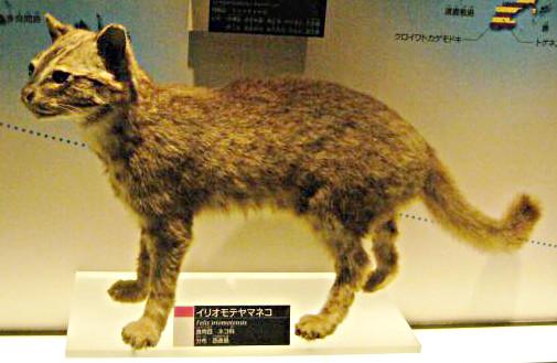 西表山猫のはく製