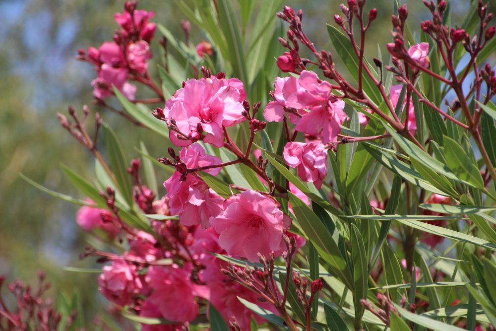 ヤエキョウチクトウの花
