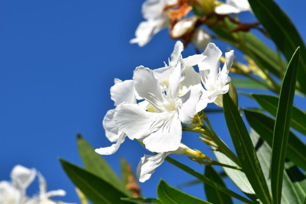 シロバナキョウチクトウの花