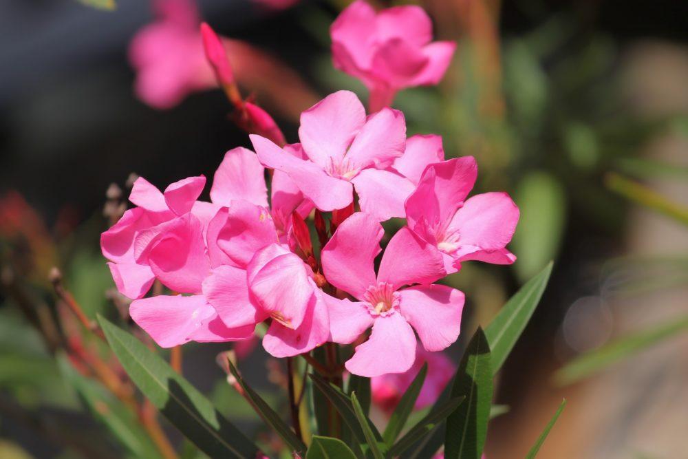 キョウチクトウの花弁