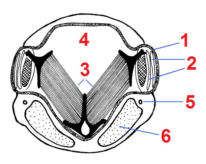 セミの腹部の断面図