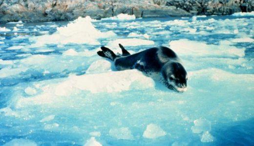 【ヒョウアザラシ】怖い顔をした南極最強の捕食者!天敵はシャチ?