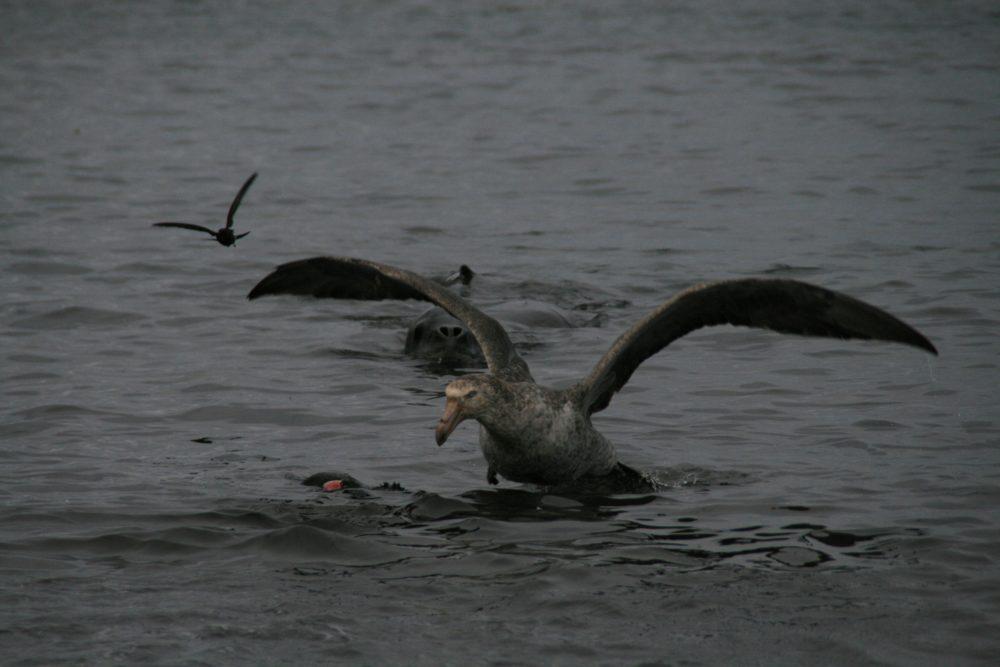 ヒョウアザラシが海鳥を狙っている