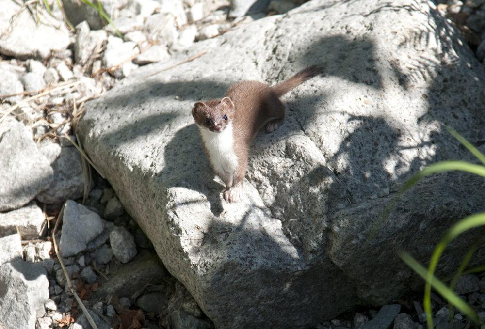岩の上にいるオコジョ