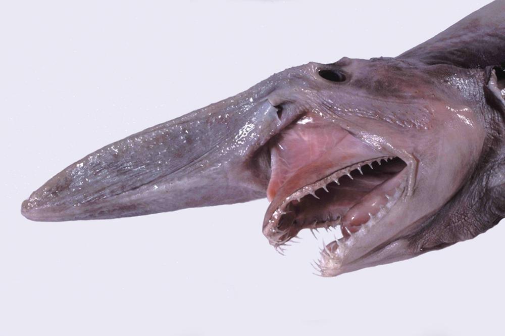 ミツクリザメの吻