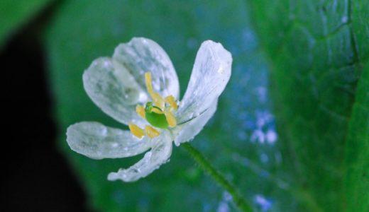 【サンカヨウ】 透明になる花⁈素敵な花言葉と透ける花びらの謎
