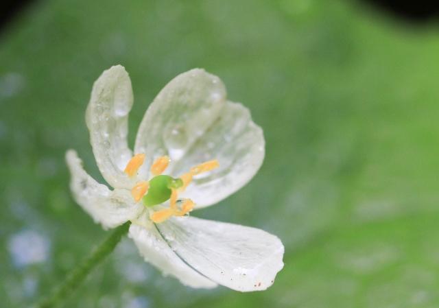 サンカヨウの綺麗な花