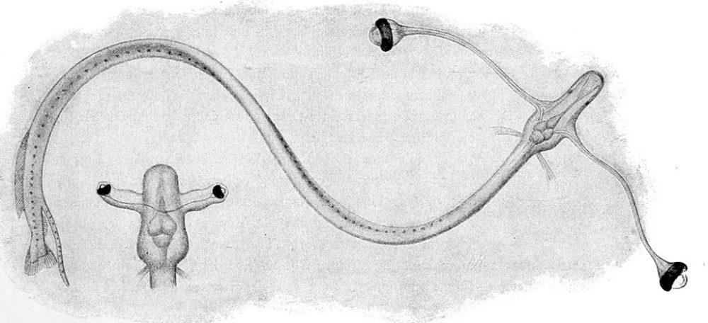 ミツマタヤリウオの幼魚