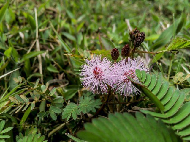 オジギソウと花