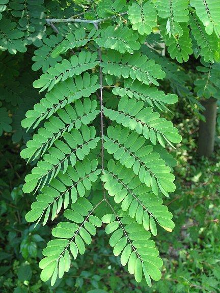 オジギソウの葉