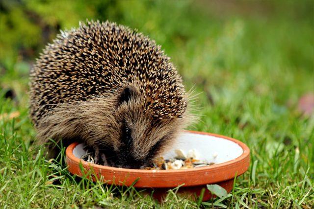 ハリネズミが餌を食べている