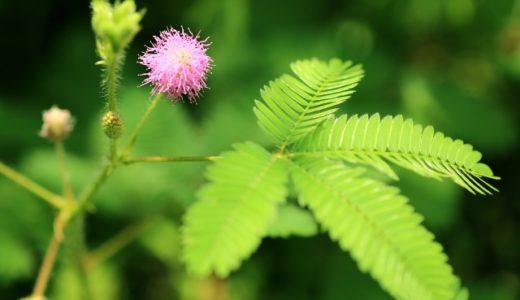 【オジギソウ】なぜ含羞草はおじぎをする?その仕組みと花言葉について