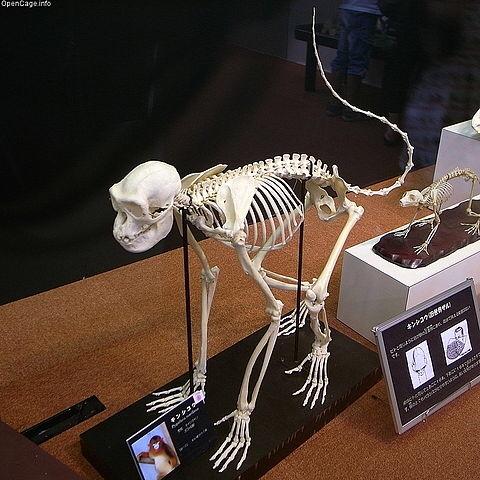 キンシコウの骨格標本