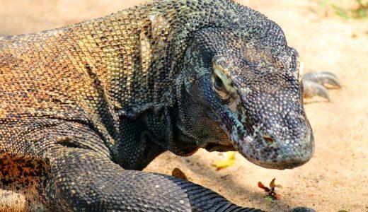【コモドドラゴン】世界最強のトカゲの生態と毒性!天敵はいるの?