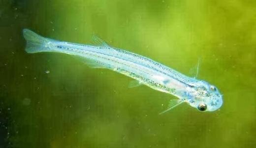 【カンディル】人食い魚?殺人魚の生態と危険性!過去に起きた事件とは