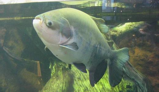 【パクー】睾丸を狙う魚?ボールカッターの異名を持つ魚の生態と真実