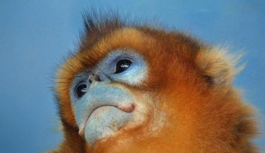 【キンシコウ】金色のサルは孫悟空のモデル?生態と日本にいる動物園は?
