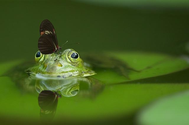 コモリガエルのイメージ