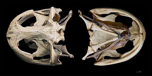 オオサンショウウオの頭部の骨