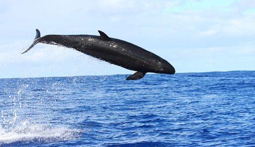 【オキゴンドウ】イルカショーで人気のクジラ!意外な生態と別名とは
