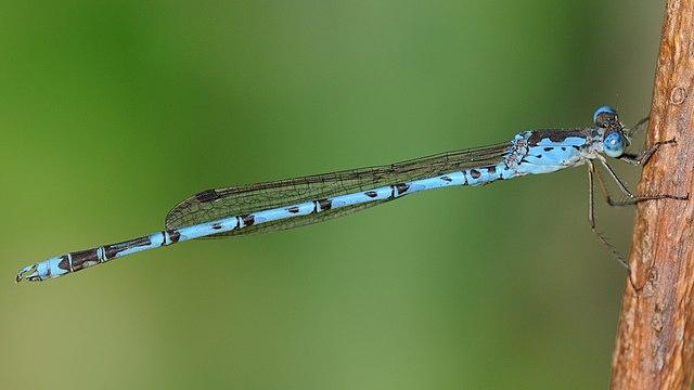 ホソミオツネントンボの春の体色