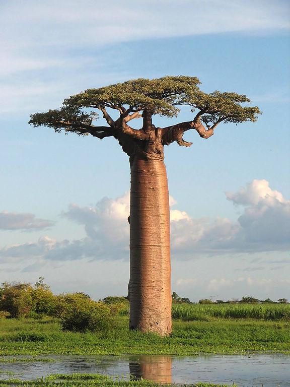 バオバブの木