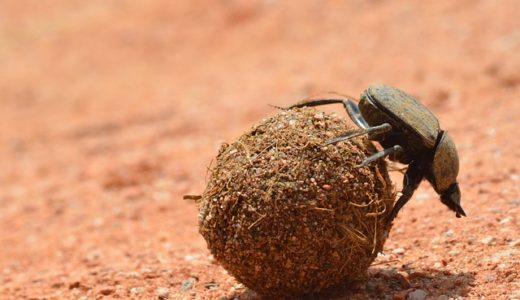 【フンコロガシ】エジプト神話の虫⁈糞を転がすのはなぜ?日本にはいる?