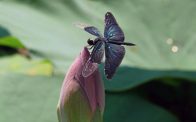 チョウトンボと花