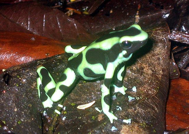 緑色のマダラヤドクガエル