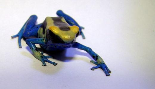 【カエルの種類】かわいい・カラフル・食用・猛毒カエルまとめ